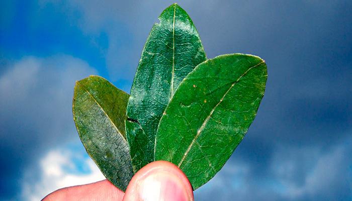 Las hojas de coca (K'intu)