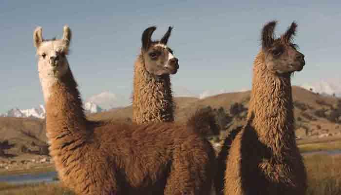 Llamas Incas